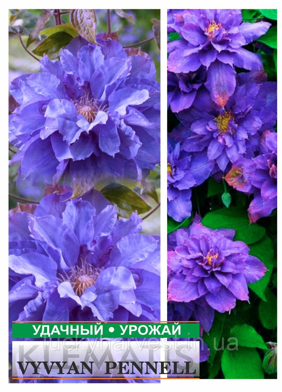 Саженцы клематиса Vyvyan Pennel