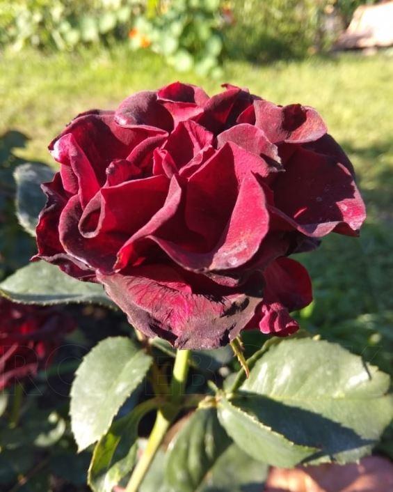 Роза фиджи негро