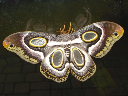 Epiphora mythimnia f