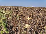 Гібрид соняшника ЄС БЕРЕКЕТ для посухостійких зон України. Насіння під ЄвроЛайтінг ЄС БЕРЕКЕТ. Стандарт, фото 4