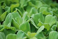 Водяной салат Пистия (водяная капуста, водяная роза)
