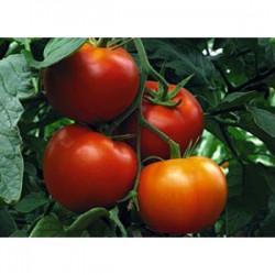 Семена томата Гравитет F1 (500 сем.) Syngenta