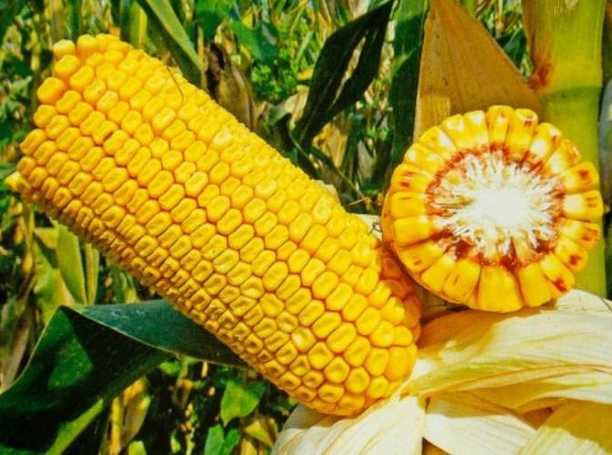Семена кукурузы Хотин фао250