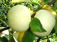 Саженцы яблони Белый Налив , фото 1