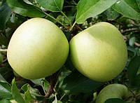 Саженцы яблони Снежный Калвин