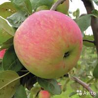 Саженцы яблони Мелба, фото 1