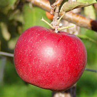 Саженцы яблони Дискавери , фото 1