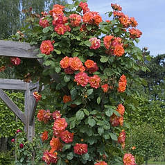 Саженцы парковой розы Вестерленд (Westerland)
