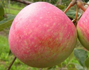 Сажанцы яблонь