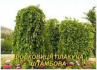 Шелковица штамбовая (плакучая) 2 г.