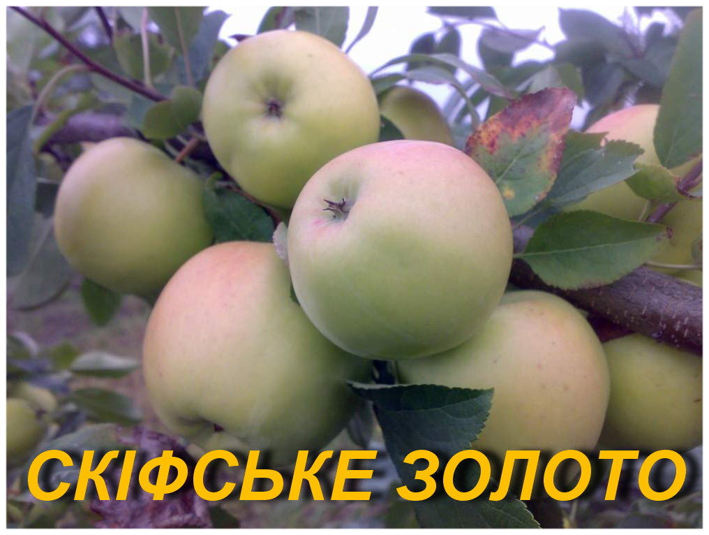 """Саженцы яблони """"Скифское золото"""" 2-х летка"""