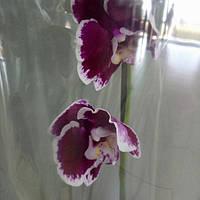 Горшечное растение Орхидея Фаленопсис
