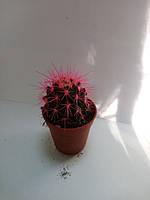 Горшечное растение кактус микс