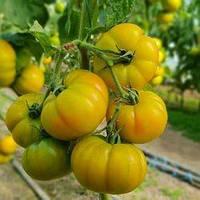 Семена томата Елоу Кой F1 (Yellow Koy F1) 500 сем., желтого индетерминантного