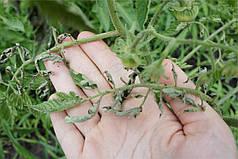 Что делать если листья на помидорах в теплице скручиваются?