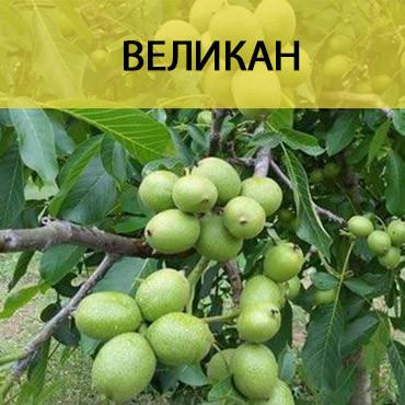 Саженцы грецкого ореха Великан (однолетний)