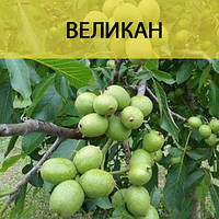 Саженцы грецкого ореха Великан (однолетний), фото 1