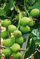 Саженцы грецкого ореха Идеал (трехлетний) , фото 1