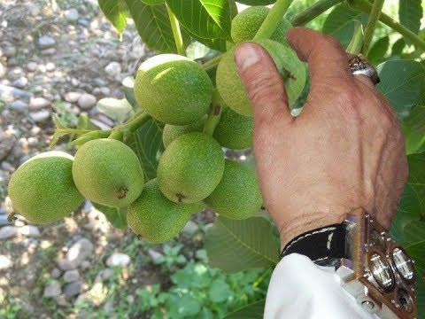 Саженцы грецкого ореха Кочерженко (трехлетний)