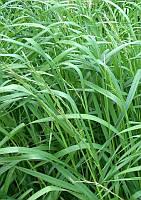 Семена трава райграс многолетний фасовка 20 кг