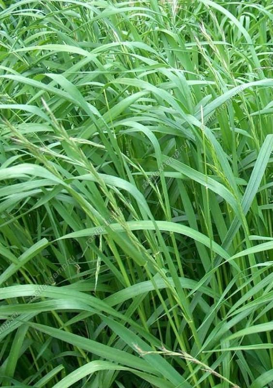 Семена трава райграс многолетний фасовка 25 кг
