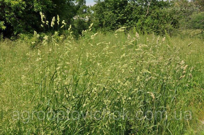 Насіння трава грястиця їжака збірна фасовка 20 кг, фото 2