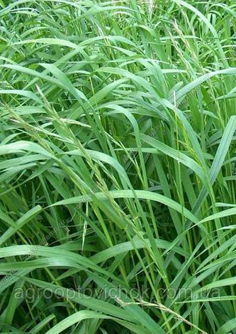 Семена трава райграс многолетний фасовка 25 кг, фото 2