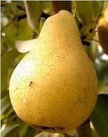 Саженцы груши Дюшес (Вильямс)