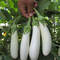 Семена баклажана Моби Дик F1 (1000семян) Libra Seeds (Erste Zaden)