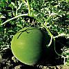 Семена арбуза Блейк F1 (1000 шт) Libra Seeds (Erste Zaden)