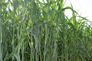 Семена сорго сахарное