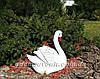 Садовая фигура Лебедь шипун белый, фото 5