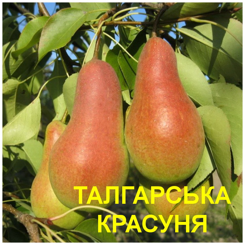 """Саженцы груши """"Талгарская Красавица"""""""