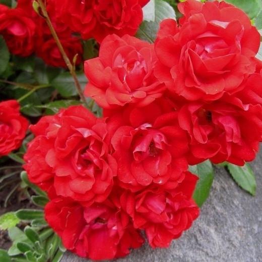 Роза миниатюрная Ред Мин