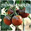 Томат индетерминантный Сашер F3 (100семян) Yuksel, Турция