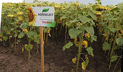Семена подсолнечника Талмаз (станд.52,3гр.) 2017
