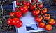 Семена томата Хилма (Elisem) F1 Clause 1000 семян, фото 2