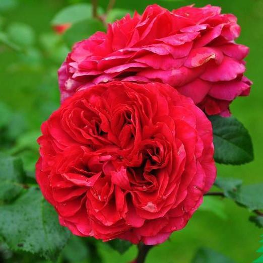 Роза штамбовая Ред Леонардо да Винчи