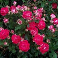 Саженец розы Руби Стар (Rubi Star) (Нат)
