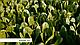 Семена салата Рафаэль \ Rafael RZ 1000 семян Rijk Zwaan, фото 3