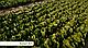 Семена салата Рафаэль \ Rafael RZ 1000 семян Rijk Zwaan, фото 4