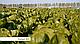 Семена салата Рафаэль \ Rafael RZ 1000 семян Rijk Zwaan, фото 5