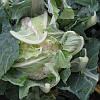Семена цветной капусты Рауль F1 2500 семян Hazera