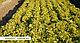 Семена салата Эксплор \  Explore RZ 5000 семян Rijk Zwaan, фото 2
