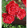 Саженец розы РЕД ИНТУИШН RED INTUITION (Нат)