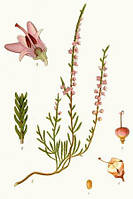 Вереск, верес обыкновенный трава 50 г