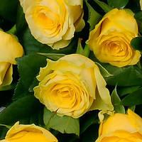 Роза чайно-гибридная Илиос