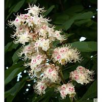 Каштан конский (Aesculus hippocastanum), цветки 100 грамм