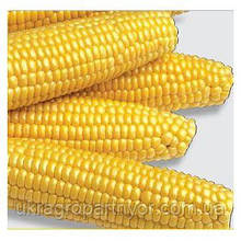 Семена кукурузы МЕГАТОН (суперсладкая), HARRIS MORAN (США)сахар.