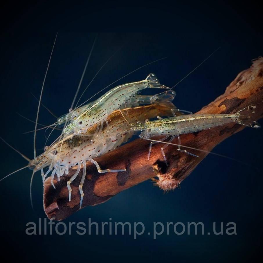 Креветка Амано (Caridina multidentata)